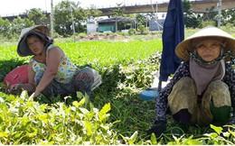 Đà Nẵng: Rau chết khô vì nắng nóng, xâm nhập mặn