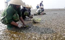 Sau bão số 3, ngao chết nổi trắng biển Thái Bình