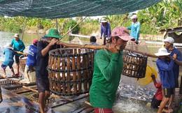Cá tra rớt giá chạm đáy