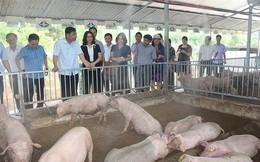 Dịch tả lợn châu Phi càn quét, nhiều hộ nuôi tự cứu mình, cứu lợn