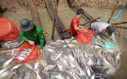 Vòng luẩn quẩn của cá tra