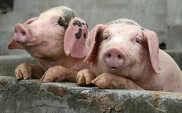 Khủng hoảng thịt lợn ở Trung Quốc ngày càng nghiêm trọng