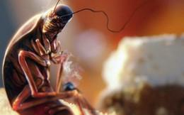 Loài côn trùng 'nhiều người ghê tởm' đang lên ngôi ở Trung Quốc: Hàng loạt trang trại nuôi gián mọc lên như nấm để chế biến thuốc, xử lý thực phẩm thừa và dùng làm nguồn thức ăn cho 1,4 tỷ dân