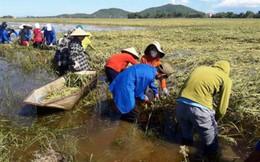 Hơn vạn tấn lúa của Hà Tĩnh thối hỏng ngoài đồng