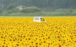 """""""Choáng váng"""" với cánh đồng hoa hướng dương triệu bông đẹp như bức tranh khổng lồ vào mùa thu ở Nhật Bản"""