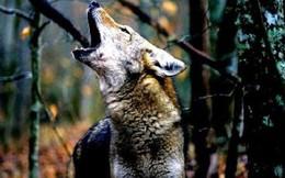 Dính bẫy của thợ săn, con sói thoát ra theo cách không ai ngờ: Đáng ngẫm!