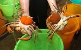 Nông dân Trà Vinh vào vụ thu hoạch cua biển nuôi, giá cao