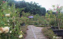 Chàng thanh niên 30 tuổi trồng trại hoa hồng thu hàng trăm triệu mỗi năm