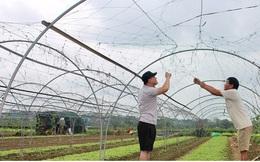 Giá rau tăng, làng rau La Hường mong một vụ Tết bội thu