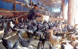 Đông Nam bộ: Tồn kho khoảng 1 triệu con gà