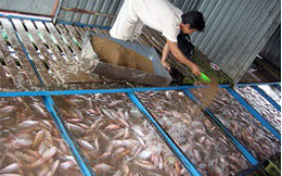 Giá cá điêu hồng tăng cao, nông dân vẫn chưa vội bán