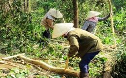 Gỗ nguyên liệu rừng trồng lên cơn sốt