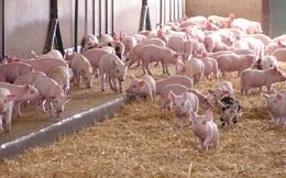 Chăn nuôi chật vật tái đàn