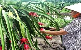 Giá thanh long ruột đỏ tăng cao, nông dân Đồng Nai phấn khởi