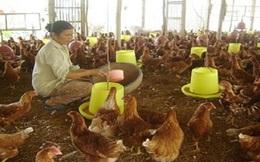 Liên kết trong chăn nuôi – Hạn chế thị trường bị thao túng