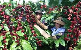 Cà phê Buôn Ma Thuột đăng ký bảo hộ chỉ dẫn địa lý ở EU