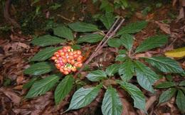 Quảng Nam hỗ trợ 80% giá mua cây sâm giống Ngọc Linh