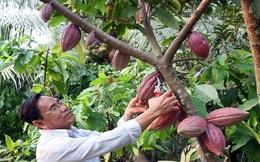 Gỡ khó cho việc phát triển cây cacao ở Đồng bằng sông Cửu Long