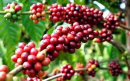 Brazil mất mùa cà phê có thể gây thiếu cung toàn cầu