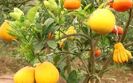 Xuất hiện cây ngũ quả - hàng độc chơi Tết ở Hà Nội