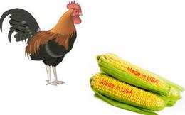 Thị trường thức ăn chăn nuôi: 'Gà nội ăn bắp Mỹ'