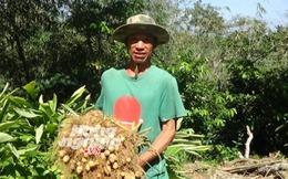 Khoai lùn Thái trồng chơi ăn thật