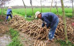 Sắn - Cây trồng tỷ đô của xuất khẩu Việt Nam