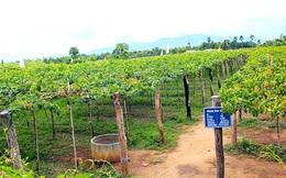Vườn nho xanh mướt của lão nông ở Ninh Thuận