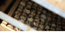 Đông Anh: Thành triệu phú nông dân nhờ nuôi chim cút