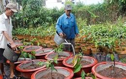 Trồng cây ăn trái trong chậu hút dân thành thị