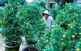 Hoa Tết miền Trung được mùa, được giá