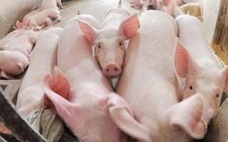 Giá lợn hơi có thể hồi phục vào cuối năm