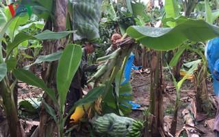 Vì sao chuối Nam Mỹ trồng ở Đắk Lắk không đủ tiêu chuẩn xuất khẩu?