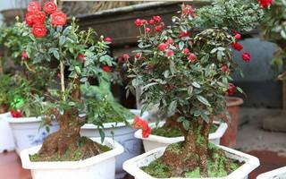 """""""Rộ mốt"""" hồng bonsai đắp rêu bạc triệu trưng Tết"""