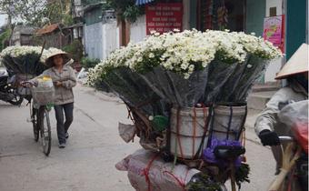 Cúc họa mi ngập tràn phố phường Hà Nội
