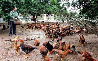Xây dựng thương hiệu quốc gia cho sản phẩm gà đồi Yên Thế