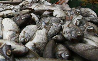 Quảng Ngãi: Cá chết hàng loạt bí ẩn, dân hoang mang