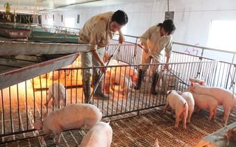 Lập chuỗi giá trị chăn nuôi để không còn cảnh giải cứu
