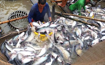 Dự báo giá cá tra tăng mạnh trong tháng cuối năm