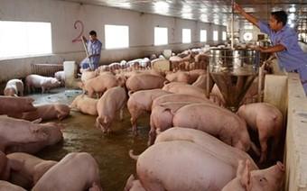 Cục Chăn nuôi: Đừng mơ lợn hơi quay về giá 45-50.000 đồng/kg như trước