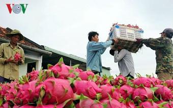 Giá thanh long trên địa bàn Bình Thuận bất ngờ tăng cao