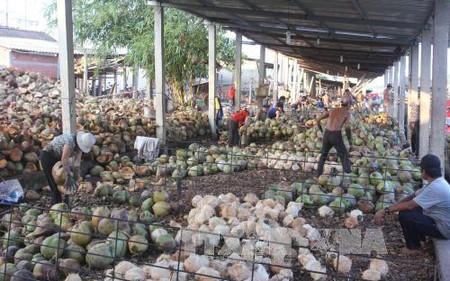 Bến Tre: Giá dừa khô nguyên liệu tăng kỷ lục