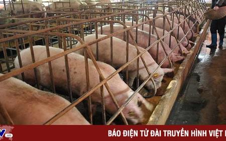 Giá lợn giống ở Bến Tre tăng gấp 10 lần