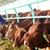 Doanh thu năm 2016 của HAGL lên cao kỷ lục nhờ thịt bò, nhưng vẫn lỗ ròng 1.000 tỷ đồng