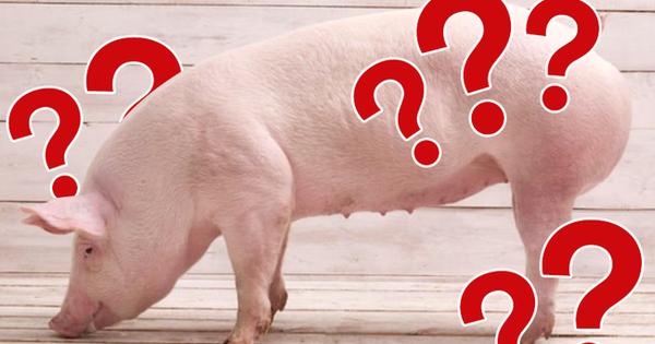 Giá thịt lợn tăng mạnh, tim lên đến 305.000VND/kg và đây là