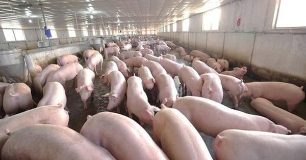 Dịch tả lợn phải tiêu hủy gần 5 triệu con cũng không lo thiếu thịt lợn vào cuối năm