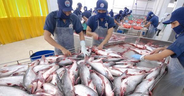 Giá cá tra cao ''chót vót'' ngay đầu năm