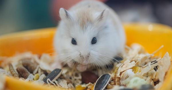 Năm Canh Tý, người trẻ tìm mua chuột hamster để giảm stress và cầu chúc may mắn