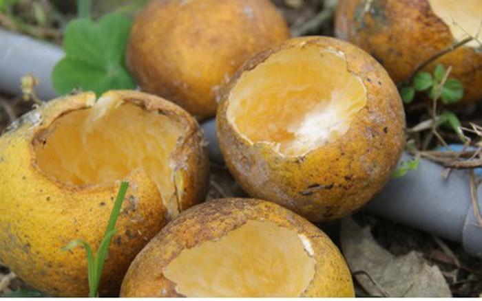 Người trồng cam tiến vua chết đắng khi mỗi đêm mất cả chục triệu đồng