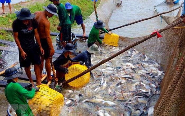 Người nuôi cá tra gặp khó do giá thu mua giảm